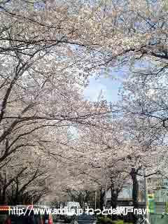 松戸市八柱霊園脇の桜