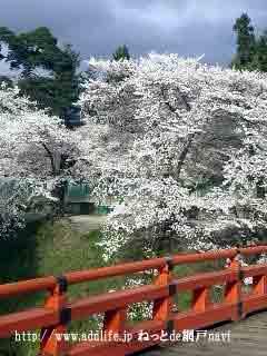 廊下橋の桜