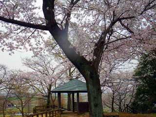 あけぼの山の桜2012
