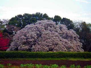 印西吉高の大桜2012